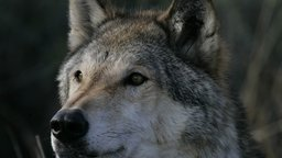 The Wolf That Changed America - Wilderness Preservation in the 19th Century